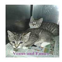 Adopt A Pet :: VENUS - Northfield, OH