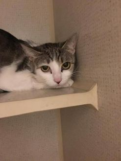 Domestic Shorthair/Domestic Shorthair Mix Cat for adoption in Orleans, Vermont - Sorbet