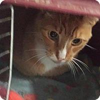 Adopt A Pet :: Cardamom (Sunshine) - Freeport, NY