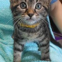 Adopt A Pet :: Celeste - Reston, VA