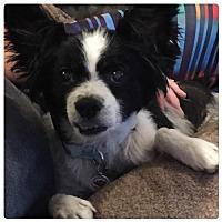 Adopt A Pet :: Apollo - Holly Springs, NC
