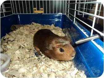 Guinea Pig for adoption in Huntingdon, Pennsylvania - Ms. Poindexter