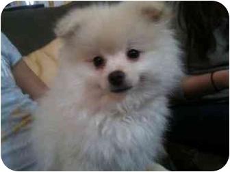 Pomeranian Puppy for adoption in Hilliard, Ohio - Dasher