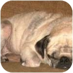 Pug Dog for adoption in Windermere, Florida - Tibbie