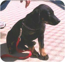Shepherd (Unknown Type) Mix Puppy for adoption in Belvidere, Illinois - Tera