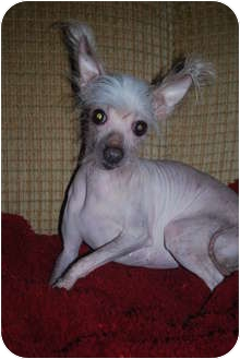Chinese Crested Dog for adoption in Astoria, New York - Brunhilda