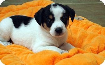 Spaniel (Unknown Type)/Hound (Unknown Type) Mix Puppy for adoption in Marietta, Georgia - Minnie