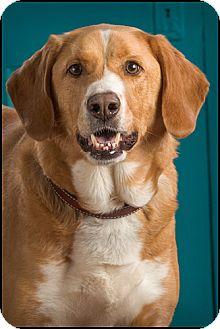 Labrador Retriever Mix Dog for adoption in Owensboro, Kentucky - Elf