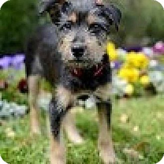 Schnauzer (Standard)/Fox Terrier (Wirehaired) Mix Dog for adoption in Houston, Texas - Sophie