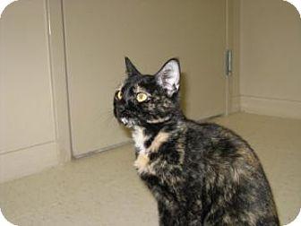 Domestic Shorthair Cat for adoption in Sarasota, Florida - Erin