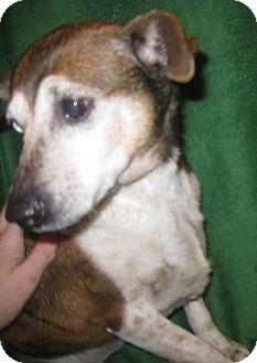 Rat Terrier Dog for adoption in Prole, Iowa - Elvira