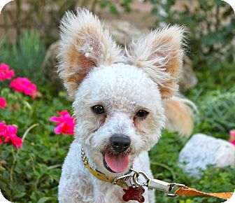 Poodle (Miniature)/Skye Terrier Mix Dog for adoption in Los Angeles, California - Gabe