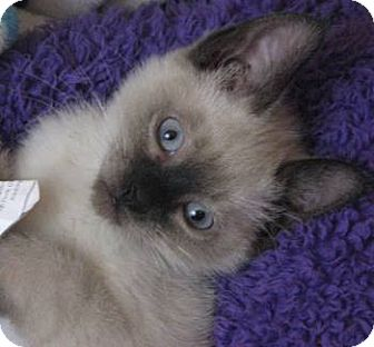 Ragdoll Kitten for adoption in Davis, California - Bailey