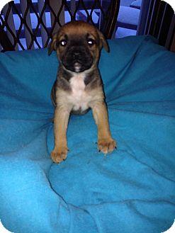 Belgian Shepherd Mix Puppy for adoption in Battle Creek, Michigan - Whinnie