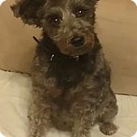 Adopt A Pet :: Venice - Chandler, AZ