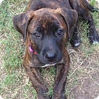 Adopt A Pet :: Cinna - Hagerstown, MD