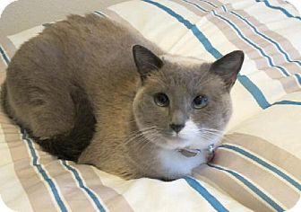 Snowshoe Cat for adoption in HILLSBORO, Oregon - Carrie *Offered by Owner*