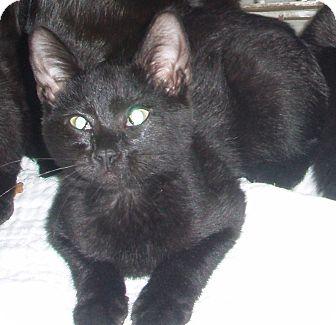 Domestic Shorthair Kitten for adoption in Germansville, Pennsylvania - Falcon
