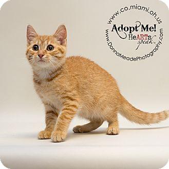 Domestic Shorthair Kitten for adoption in Troy, Ohio - Helen