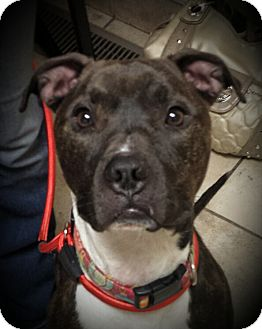 American Pit Bull Terrier Mix Dog for adoption in Kewanee, Illinois - Stella