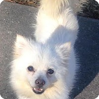 Adopt A Pet :: Papoose - Waterbury, CT