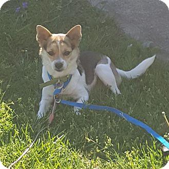 Rat Terrier Mix Dog for adoption in Minneapolis, Minnesota - Smidgen