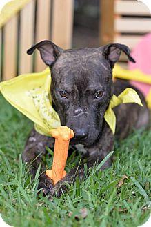 Pit Bull Terrier/Labrador Retriever Mix Puppy for adoption in Orlando, Florida - Bentley