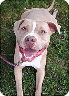 Pit Bull Terrier Mix Dog for adoption in Boiling Springs, Pennsylvania - Rebel
