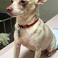 Chihuahua Mix Dog for adoption in Santa Ana, California - Mrs T (LJ)