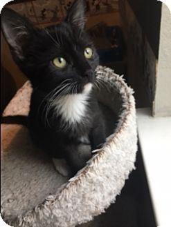 Domestic Shorthair Kitten for adoption in El Dorado Hills, California - Twinkle