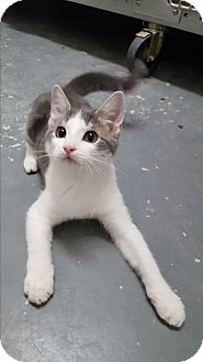 Domestic Shorthair Kitten for adoption in Umatilla, Florida - Surge