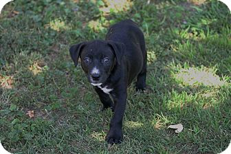Border Collie/American Staffordshire Terrier Mix Puppy for adoption in Lincoln, California - PUPPY - Shepard