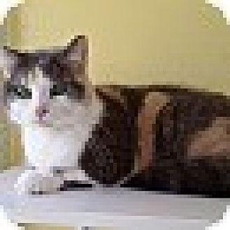 Domestic Shorthair Cat for adoption in Port Clinton, Ohio - Ashlynn
