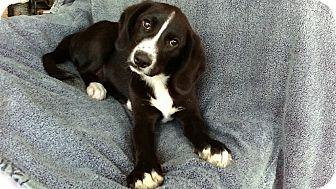 Labrador Retriever/Hound (Unknown Type) Mix Puppy for adoption in East Hartford, Connecticut - Warren pending adoption