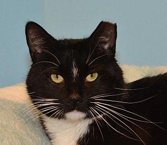 Domestic Shorthair Cat for adoption in Cincinnati, Ohio - Sneakers