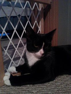 Domestic Shorthair Cat for adoption in Canal Winchester, Ohio - Fred