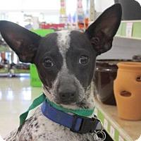 Adopt A Pet :: Gizmo - Rocky Mount, NC