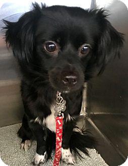 Chihuahua Mix Dog for adoption in Las Vegas, Nevada - Marsha