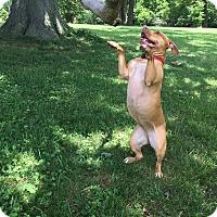 Adopt A Pet :: Lyla (COURTESY POST) - Baltimore, MD
