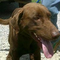 Labrador Retriever Mix Dog for adoption in Opelousas, Louisiana - Leonard