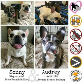 French Bulldog Mix Dog for adoption in Everett, Washington - Audrey (& Sonny)