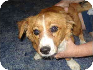 Pembroke Welsh Corgi/Papillon Mix Dog for adoption in Lomita, California - Freddie