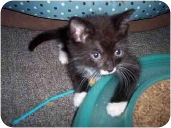 Domestic Shorthair Kitten for adoption in Delmont, Pennsylvania - Gabe