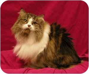 Persian Cat for adoption in Sacramento, California - Rose
