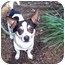 Photo 1 - Chihuahua/Toy Fox Terrier Mix Dog for adoption in Winnsboro, South Carolina - Patrick