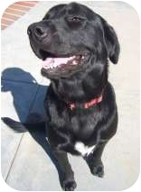 Labrador Retriever Mix Dog for adoption in Torrance, California - Koda2