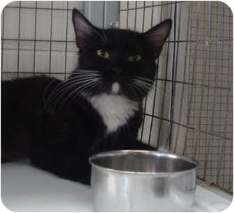 Domestic Shorthair Cat for adoption in Winter Haven, Florida - Demi