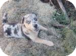 Australian Shepherd Mix Puppy for adoption in East Hartford, Connecticut - betty in CT