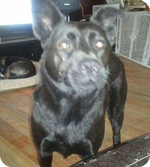Labrador Retriever/Chow Chow Mix Dog for adoption in Berea, Ohio - Max-Courtesy Post