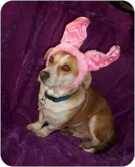 Corgi/Basset Hound Mix Dog for adoption in McArthur, Ohio - DUCKY